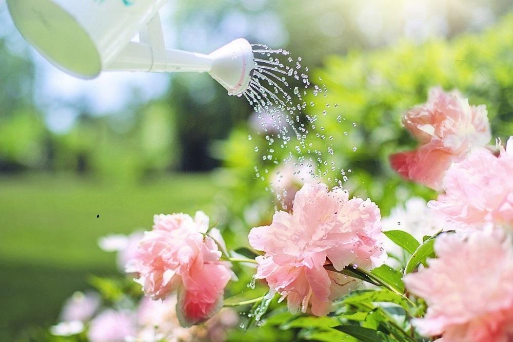 ogrod-kwiaty-rododendron-podlewanie